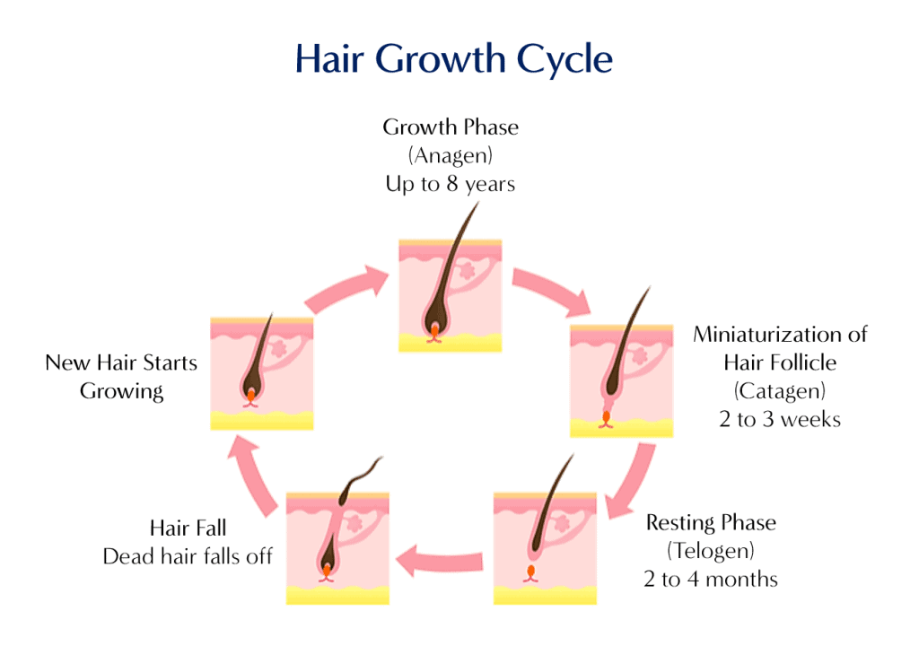 hair growth cycle - dream plastic surgery singapore
